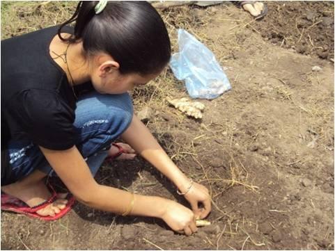 Planting Ginger in Herbal Garden