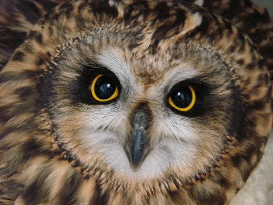 Amelia, short-eared owl