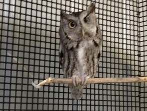 Robbie, Screech Owl