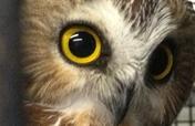 Provide New Larger Habitats for Education Owls