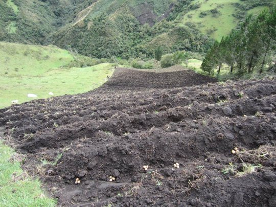 Our field of growing potatoes