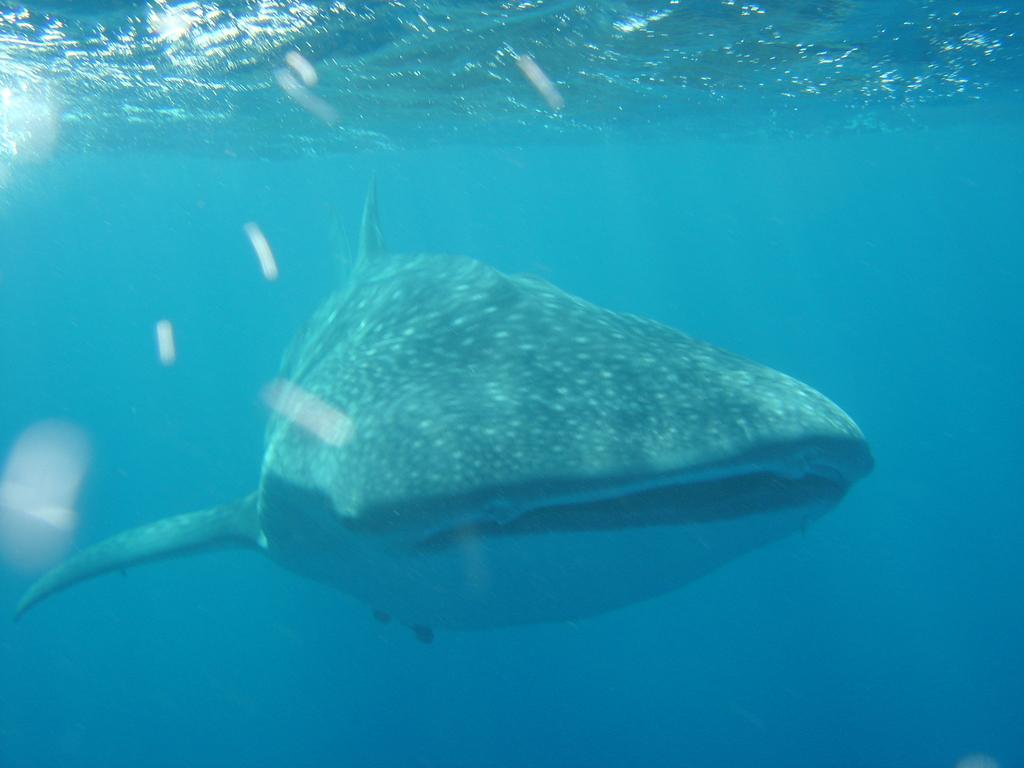Whale Shark. Pic: Suzy Quasnichka