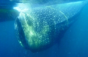 Donate a camera to save a whale shark in India