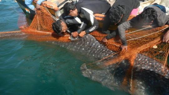 WTI biologist Prem Jyoti tagging the whale shark