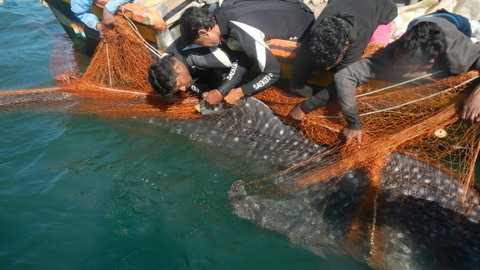 WTI biologist Prem Jyoti tagging the whale shark