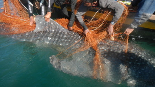 Satellite tag attached to whale shark's dorsal fin