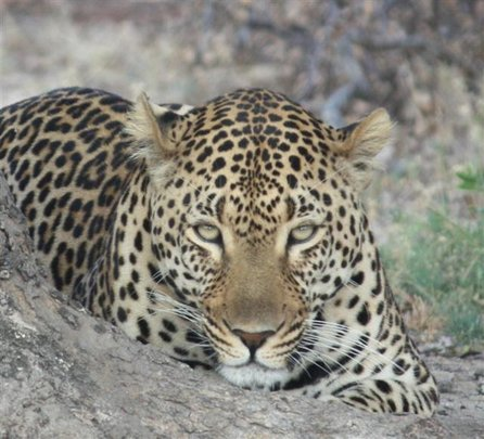 Provide food & care for our Leopard for one year