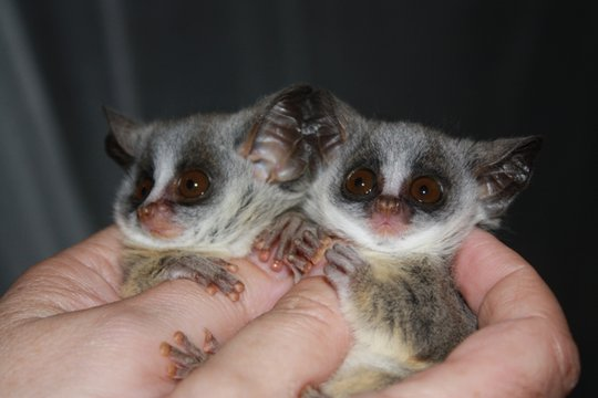 Our Bushbabies Pepito & Pepita need your help.