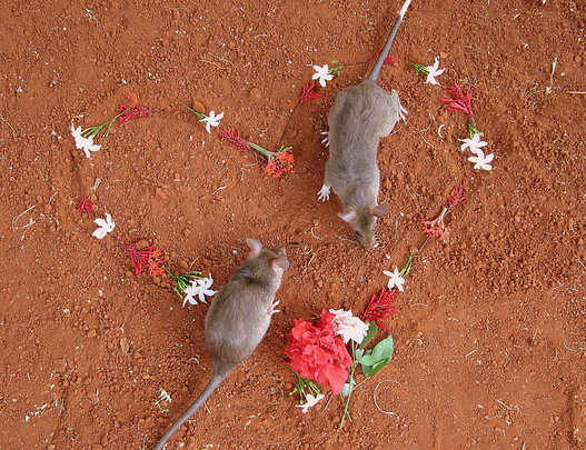 HeroRats are loving creatures