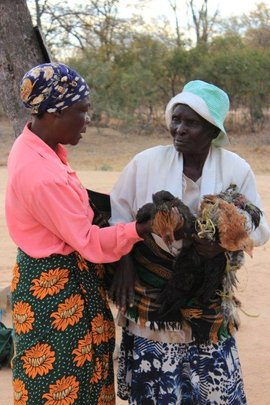 Receiving chickens
