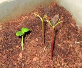 mountain papaya and lyche seedlings