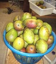 So many mangos!
