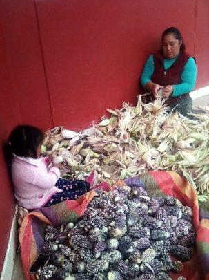 School harvest of Andean Purple corn