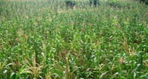 ongoing farm of maize and beans
