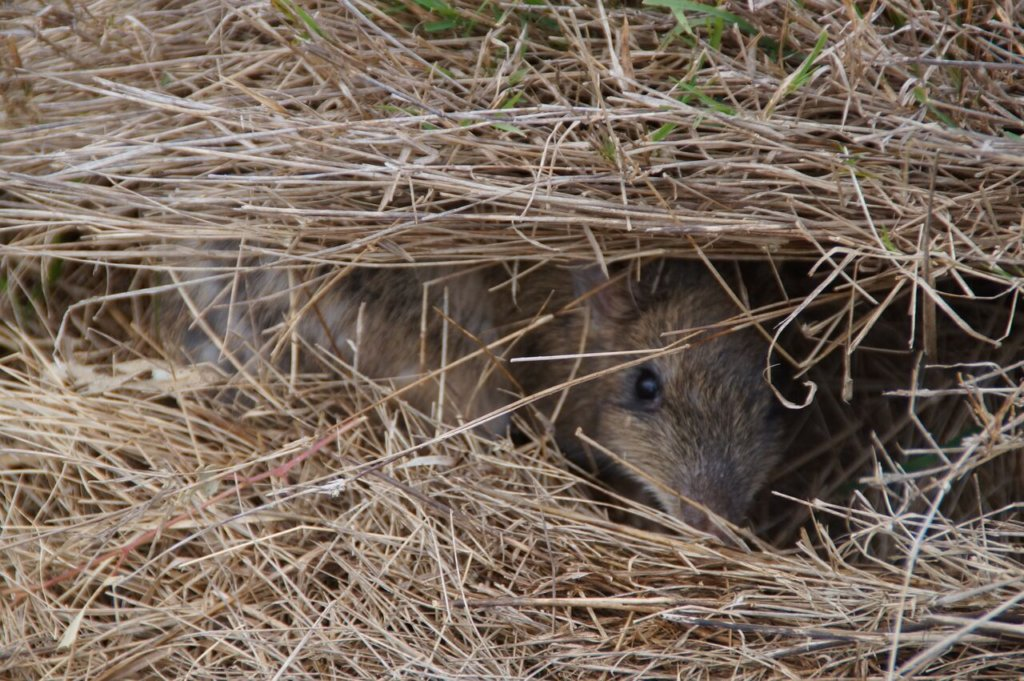 Normal grass shelter leaves Bandicoot