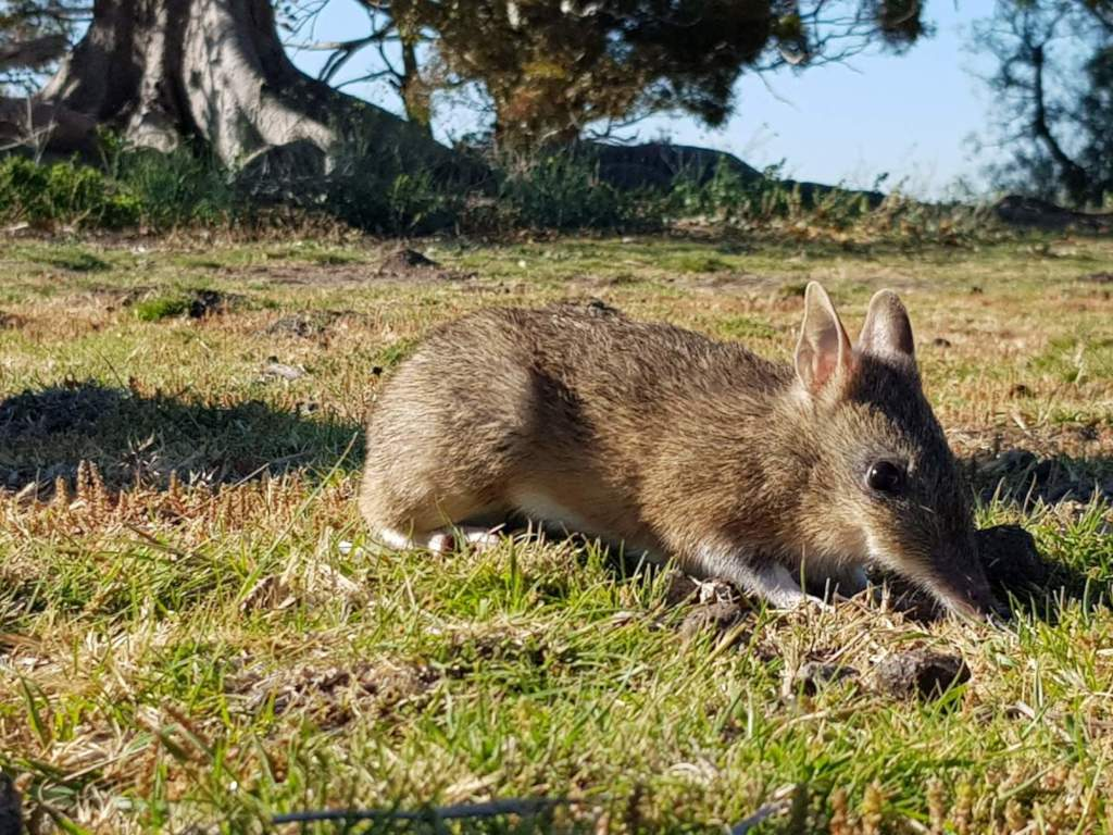 Bandicoot active through the day