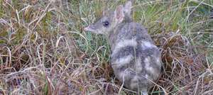 Bandicoots love the long grass!