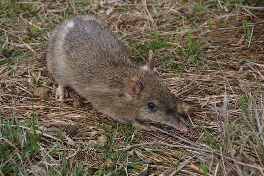 Adorable Eastern Barred Bandicoot after release