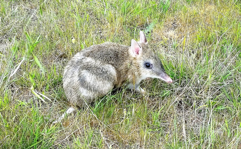 One of our Eastern Barred Bandicoot