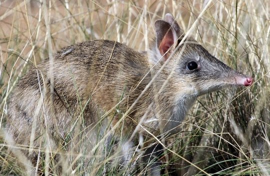 Bandicoots love to hide in long grass!