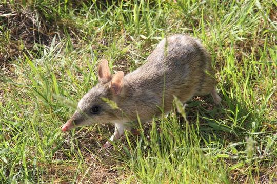Endangered Eastern Barred Bandicoot