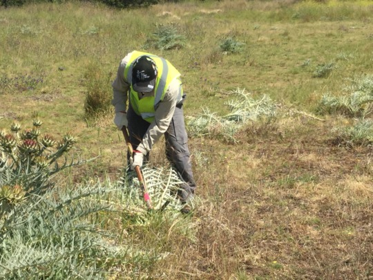 Volunteer removing artichoke thistle