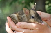 Help Protect Endangered Bandicoots