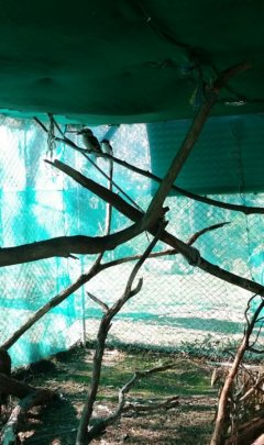 Kookaburras completing rehab in the new aviary