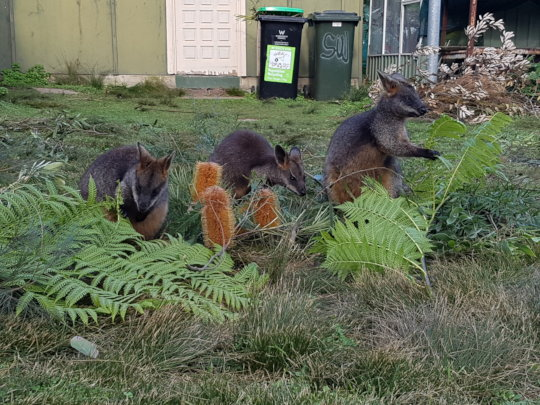 Swamp wallabies enjoying their browse