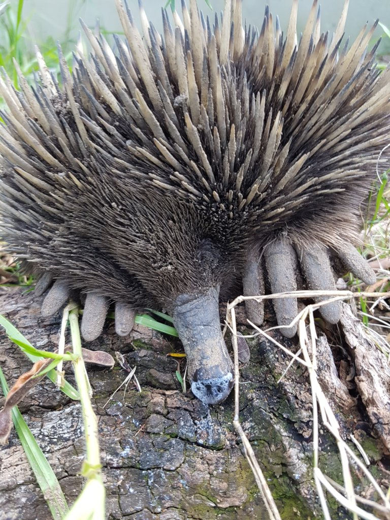 You have helped Spike the Echidna