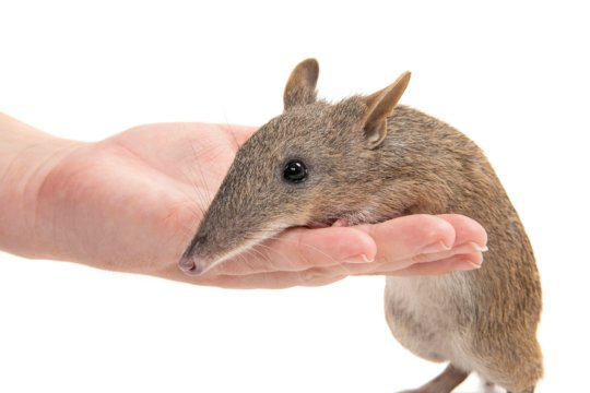 Long nose bandicoot by Peter Sharp