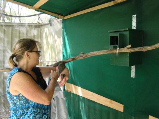 Carer releasing into rehabilitation aviary