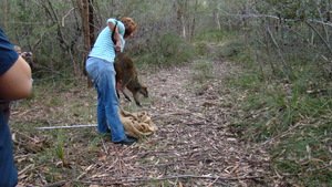 Release of Swamp Wallaby