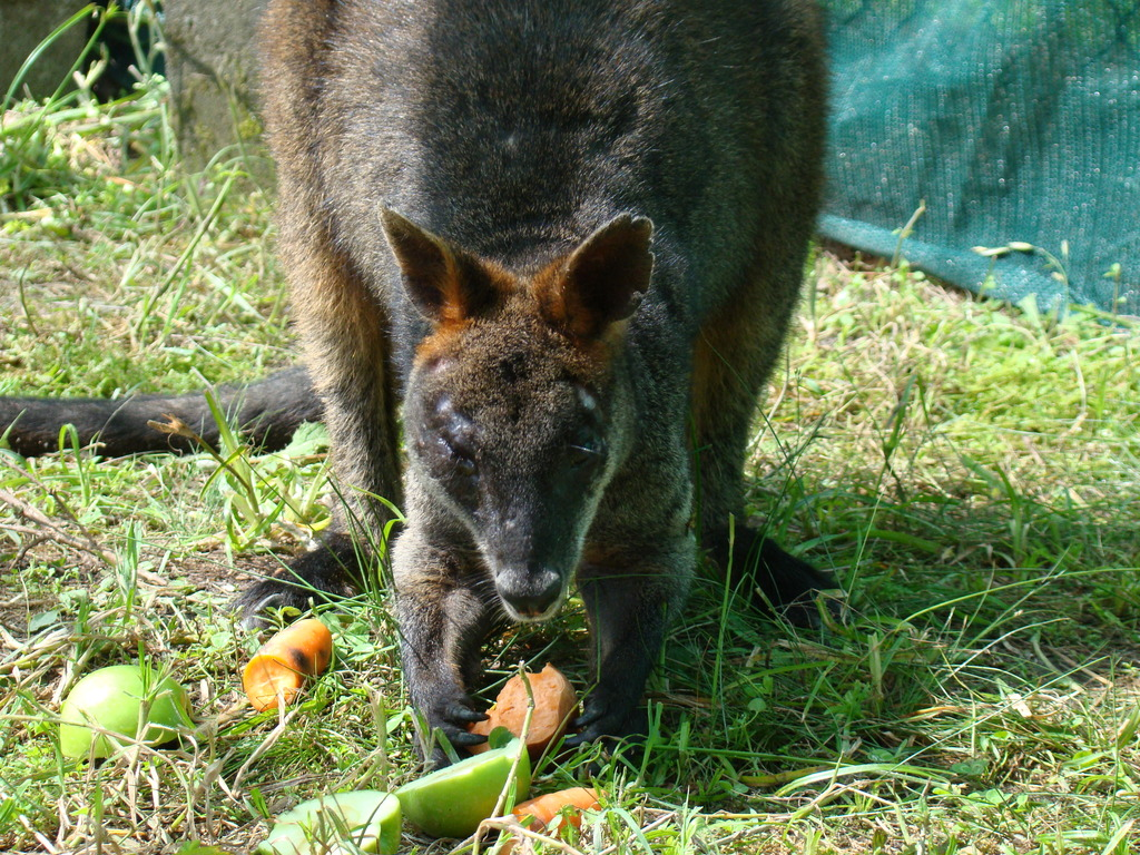 Adult Swamp Wallaby with swollen face
