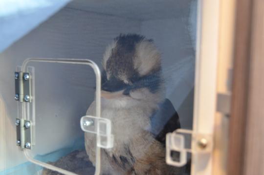 Kookaburra at the Mobile Care Unit, injured