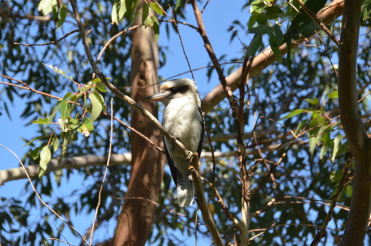 Kookaburra well now and released.