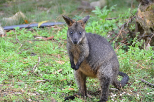 Swamp Wallaby recovering in large enclosure