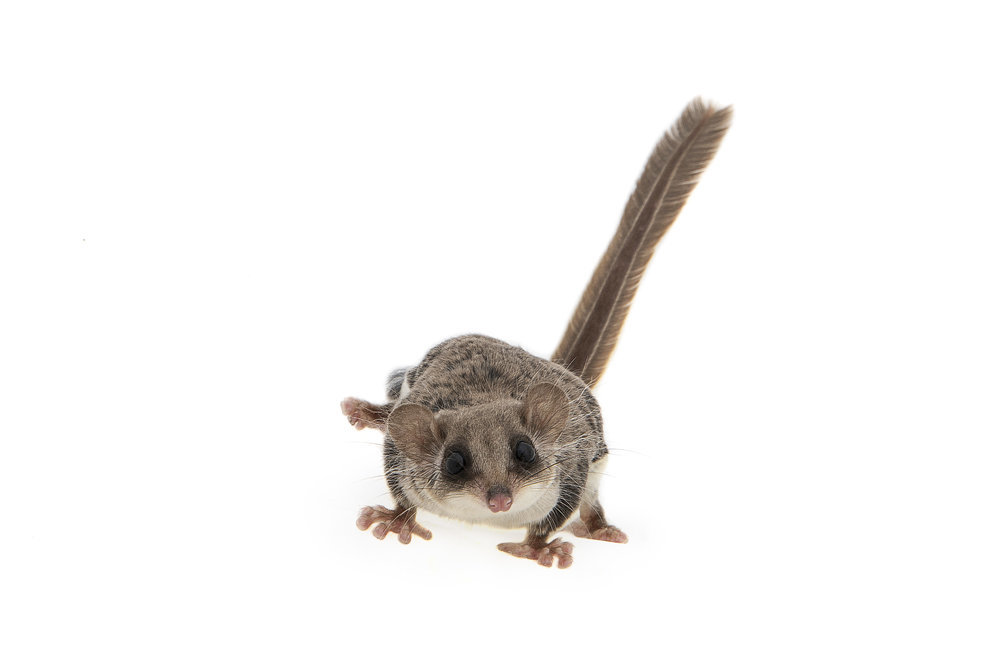 Feather Tail Glider
