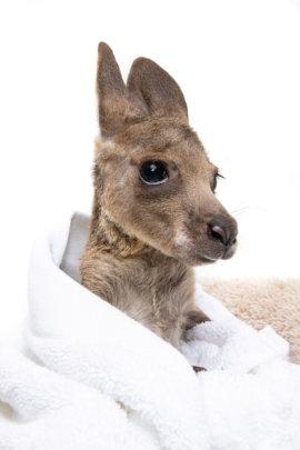 Eastern Grey Kangaroo by Peter Sharp
