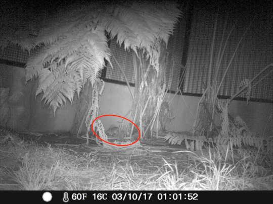 Elusive bandicoot found on camera