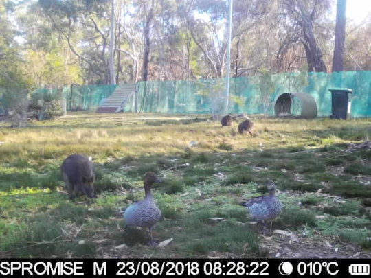 Are we sure the wallabies are eating the food?