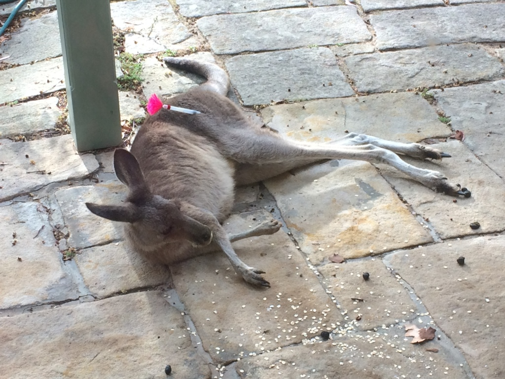 Darted Eastern Grey Kangaroo