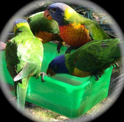 Support feeding Rainbow Lorikeets