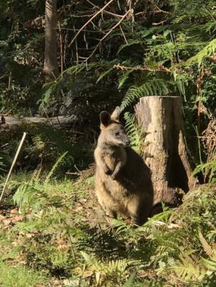 Swamp Wallaby in rehabilitation facility