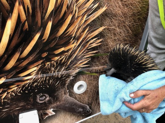 Fire victim echidna meets care unit echidna
