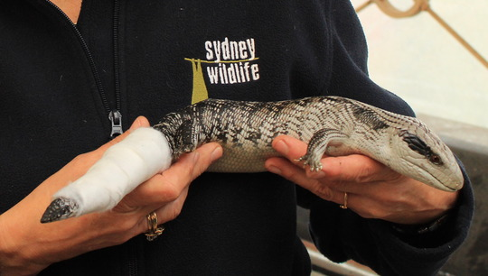 Injured Blue Tongue Lizard