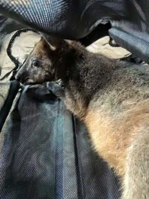 The wallaby safely secured