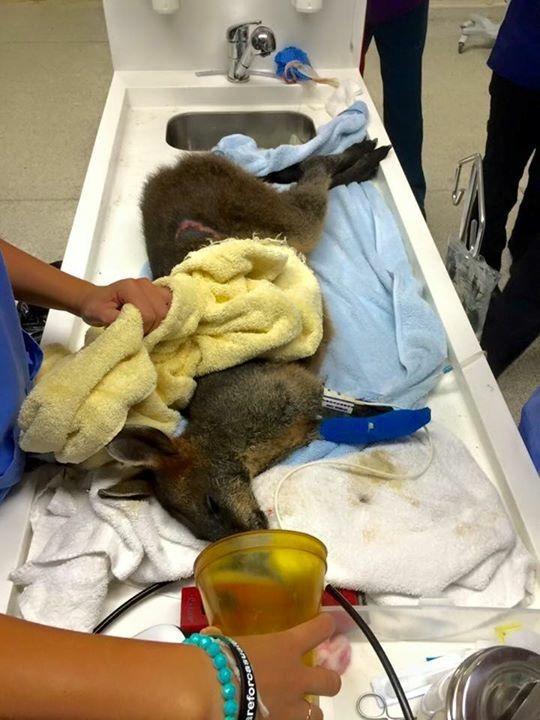 Wallaby undergoing vet treatment