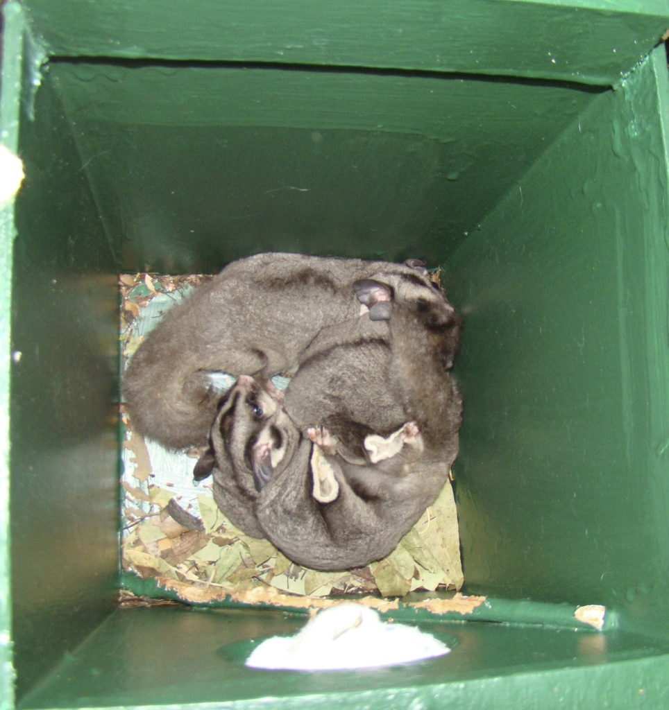 Sugar Gliders in their nesting box