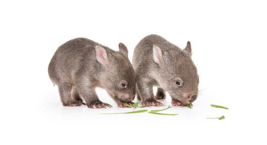 Wombat Joeys